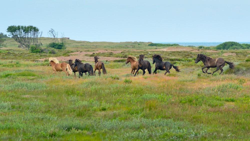 Sommergræsning. Heste i galop ud over Nordmarken, Læsø (foto: Rune Engelbreth Larsen)