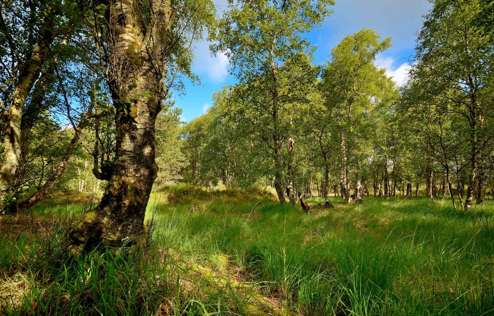 Birkeskov, Læsø Klitplantage (foto: Rune Engelbreth Larsen)
