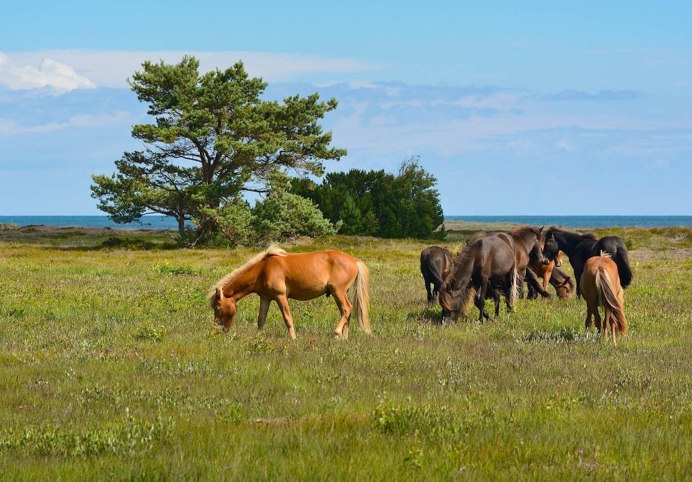 Heste på Nordmarken (foto: Rune Engelbreth Larsen)