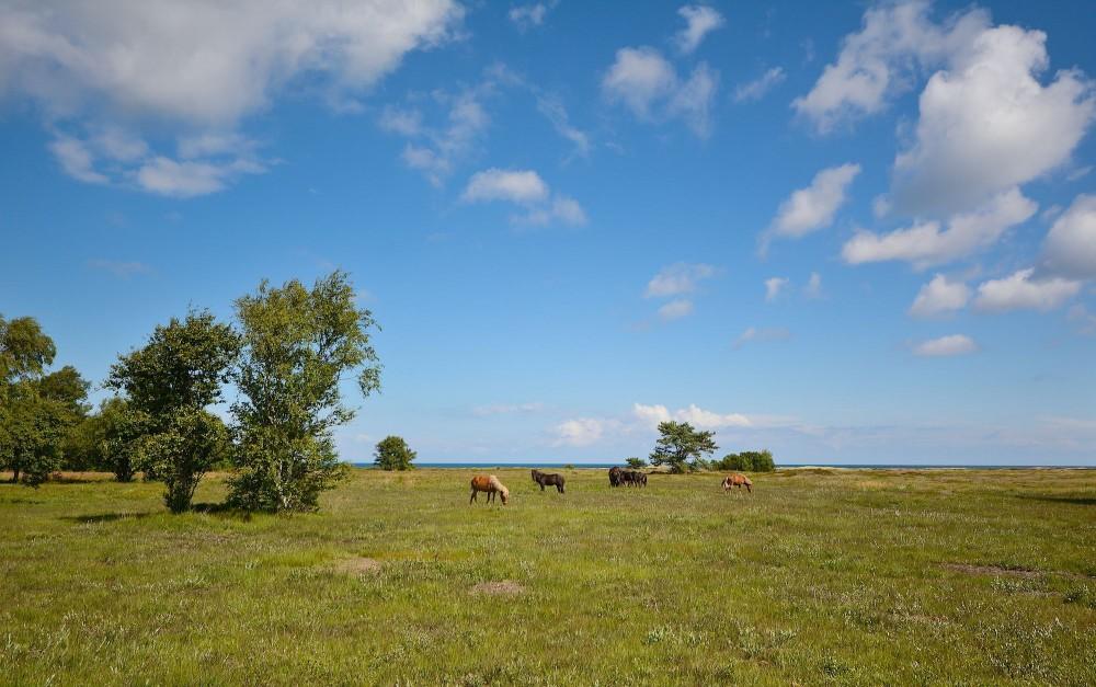 Heste på Nordmarken, Læsø (foto: Rune Engelbreth Larsen)