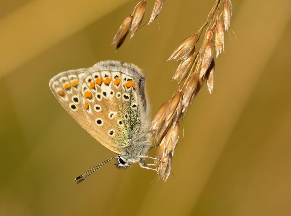 Almindelig blåfugl (foto: Rune Engelbreth Larsen)