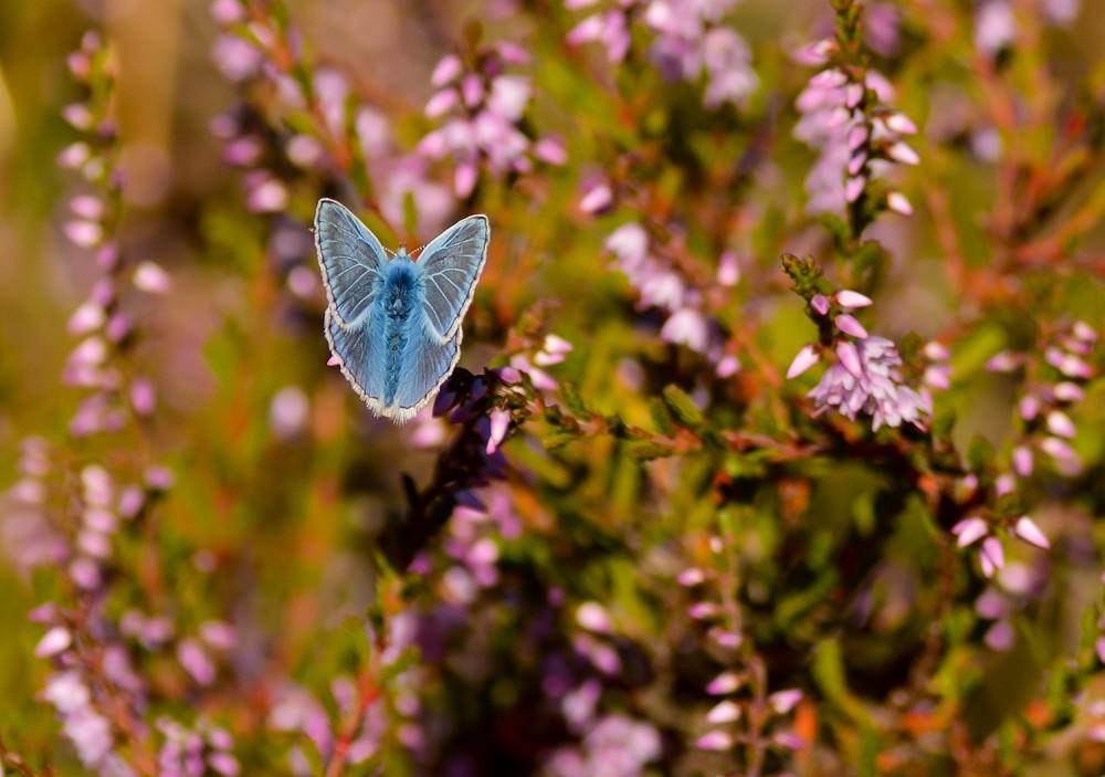 Almindelig blåfugl, hedelyng (foto: Rune Engelbreth Larsen)