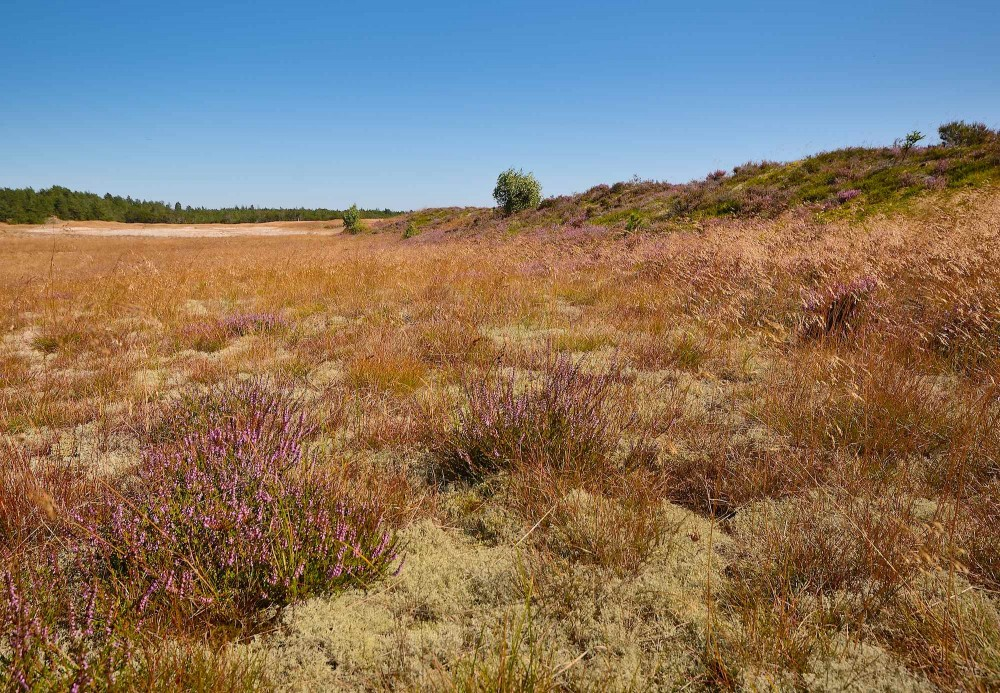 Ndr. Stenslette, Aalbæk Klitplantage (foto: Rune Engelbreth Larsen)