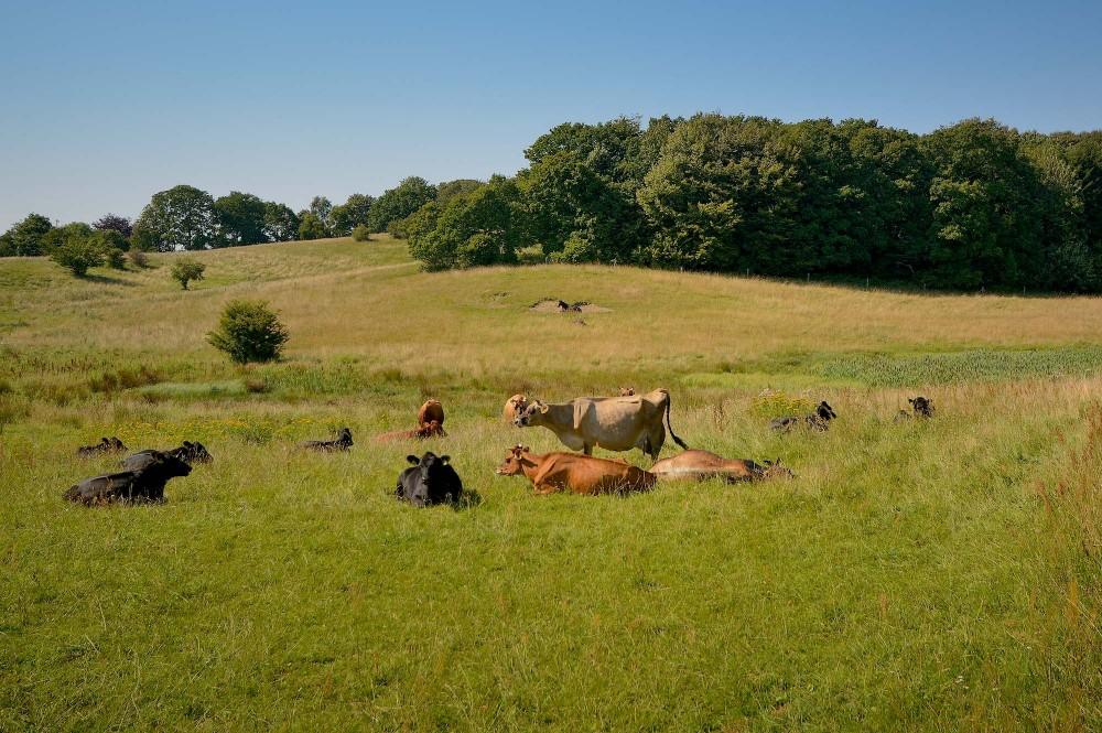 Græsning med kvæg, Lisbjerg Skov (foto: Rune Engelbreth Larsen)