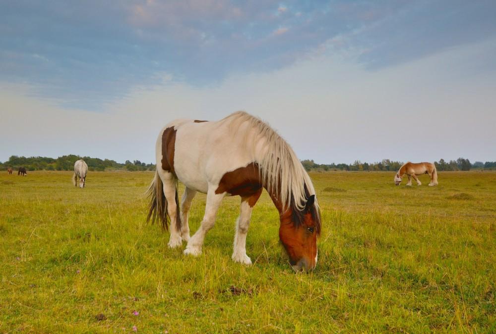 Heste græsser på Kalvebod Fælled (foto: Rune Engelbreth Larsen)