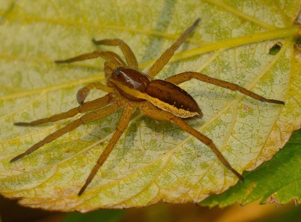 Stor rovedderkop, Gribskov (foto: Rune Engelbreth Larsen)