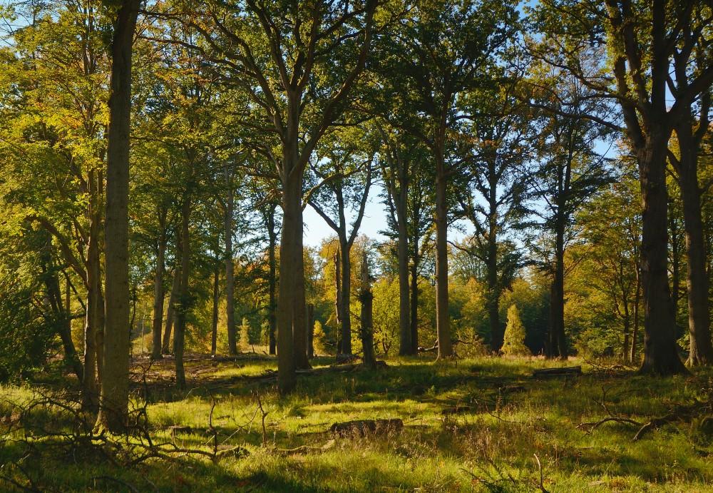 Område med knap 200-årige ege nær Dronningens Bøge, hvor der formodentlig skal udsættes eghjort (foto: Rune Engelbreth Larsen)