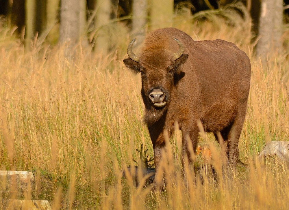 Bison i Almindingen, Bornholm (foto: Rune Engelbreth Larsen)