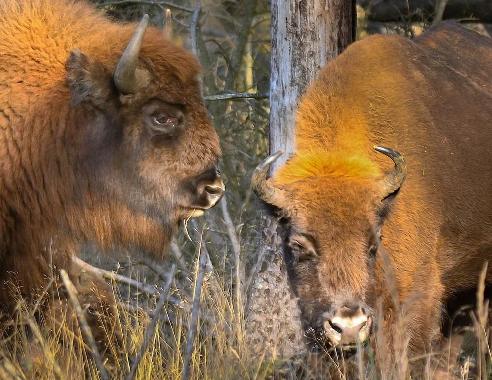 Europæisk bison, Almindingen (foto: Rune Engelbreth Larsen)