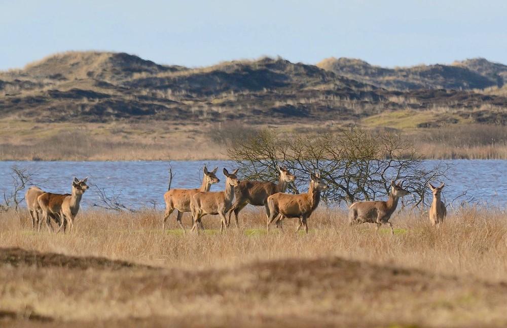 Krondyr ved Grærup Langsø (foto: Rune Engelbreth Larsen)