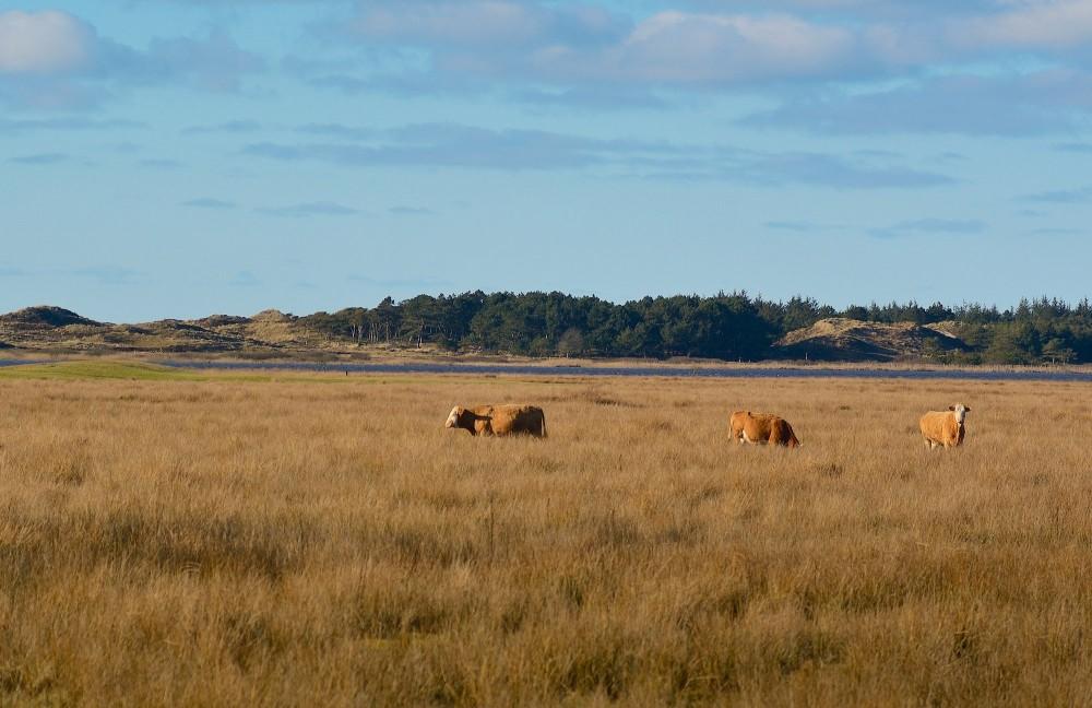 Græssende kreaturer ved Grærup Langsø (foto: Rune Engelbreth Larsen)