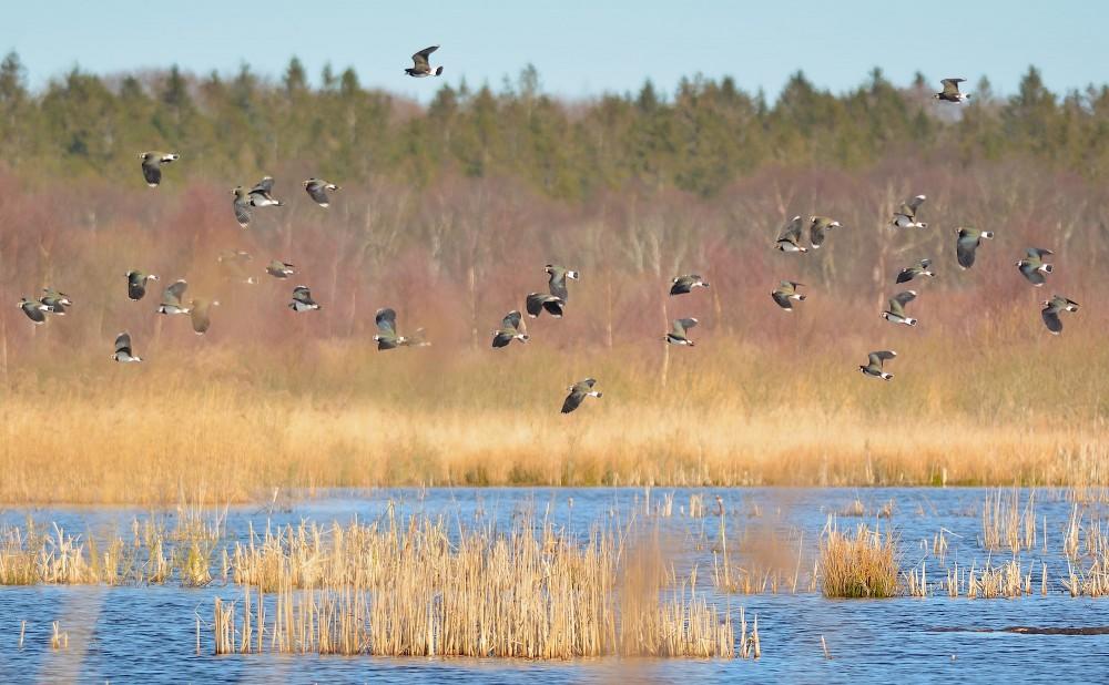 Viber i luften over Lille Vildmose ved vådområderne syd for Høstmark Skov (foto: Rune Engelbreth Larsen)