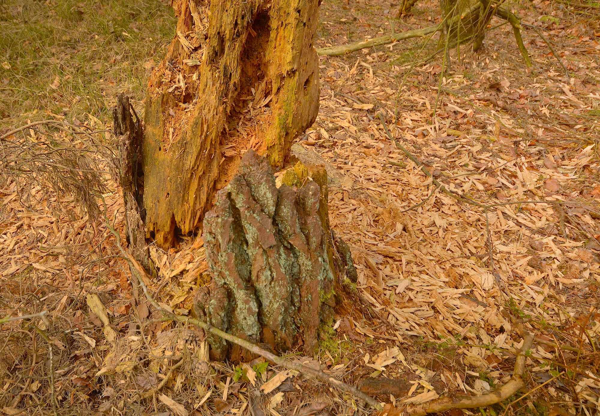 Nej, det er ikke en bæver, der har været på spil og molestreret denne skovfyr i Hårup Sande, men derimod spætter (foto: Rune Engelbreth Larsen)