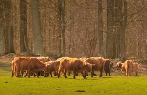 Skotsk højlandskvæg (over)græsser året rundt i Hellebæk Kohave. Det er kvægets kødkvalitet, der er vigtigere end en naturlig bestand, og derfor reduceres større dele af området til noget, der ligner en golfbane frem for en mere naturligt varieret vegetation