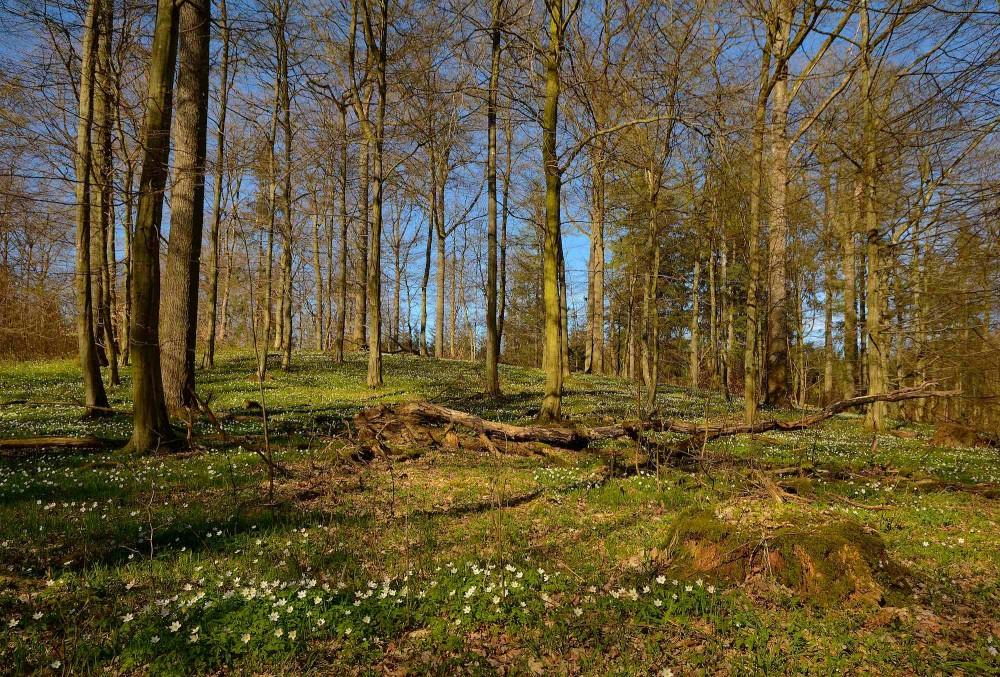Hvide anemoner i skovbunden, Bidstrup Skoven (foto: Rune Engelbreth Larsen)