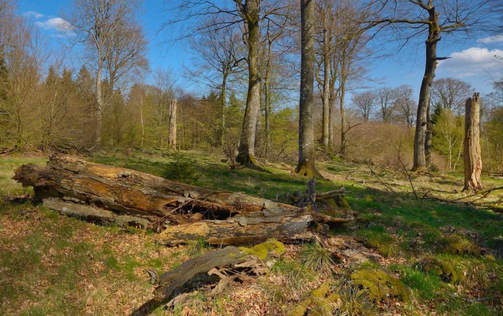 Urørt skov betyder bl.a. stående og liggende dødt ved, altså døde træer, der ligger i skovbunden og langsomt nedbrydes, eller stadig står oprejst – begge dele er en stor mangelvare i danske skove (foto: Rune Engelbreth Larsen)