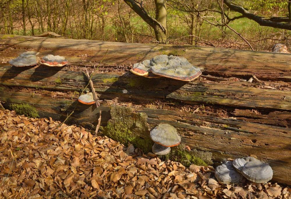 Dødt træ giver liv til svampe, mosser, laver og insekter, der igen giver liv til andre arter (foto: Rune Engelbreth Larsen)