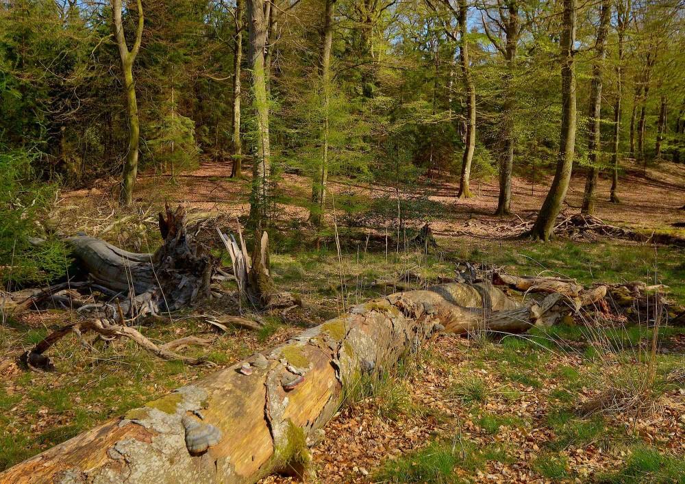 Knagerne, en lille vildskov eller såkaldt urørt skov i Vestskoven (foto: Rune Engelbreth Larsen)