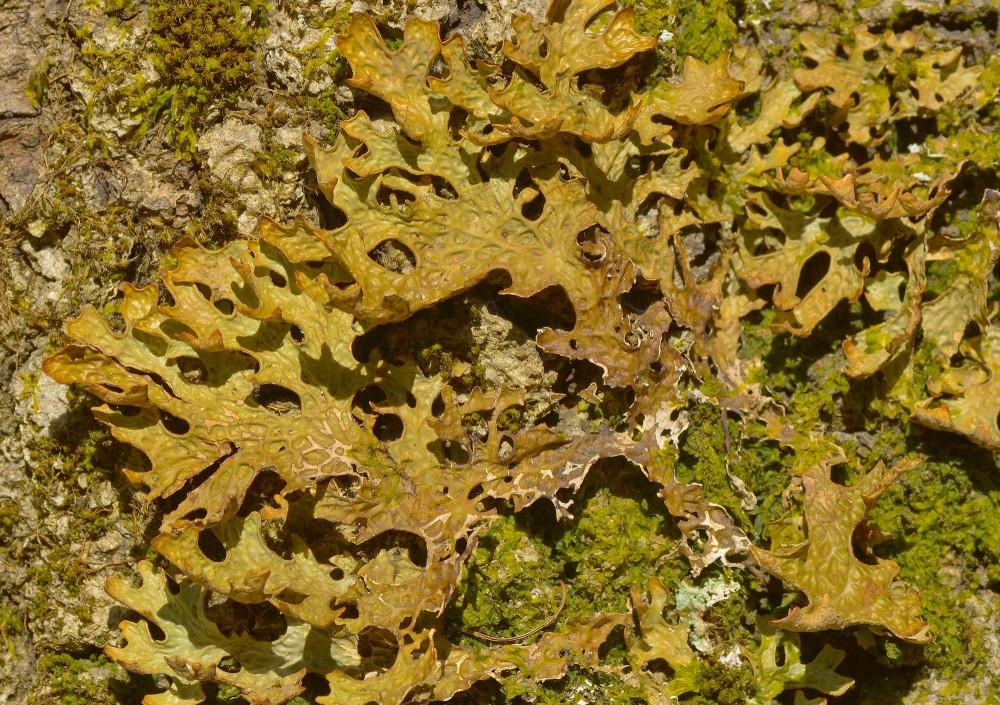 Almindelig lungelav, maj. Men almindelig er den ikke, tværtimod er den meget sjælden i vore skove, fordi den har brug for løvskov med lang kontinuitet (dvs. at skoven har været skov i mange generationer), og da motorsavene regerer i 99 procent af de danske skove, er 'almindelig' lungelav desværre blevet ekstremt ualmindelig lungelav (foto: Rune Engelbreth Larsen)