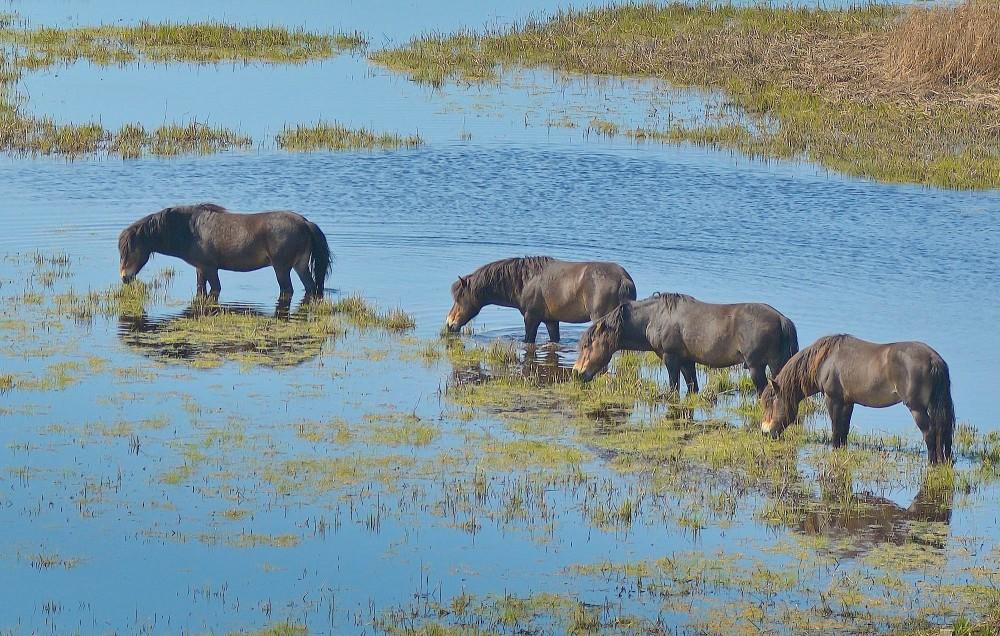 Vildheste hænger ud i vådområde ved Klise Nor (foto: Rune Engelbreth Larsen)