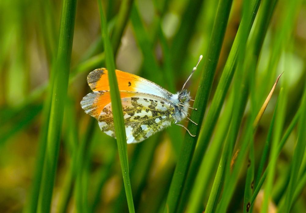 Aurora, maj. Det er hannen, som har de smukke orangefarvede vinger for at gøre indtryk på hunnen (foto: Rune Engelbreth Larsen)