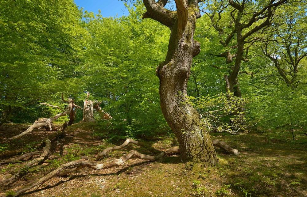 Urørt Skov i Troldeslugten ved Hald Sø og Dollerup Bakker (foto: Rune Engelbreth Larsen)