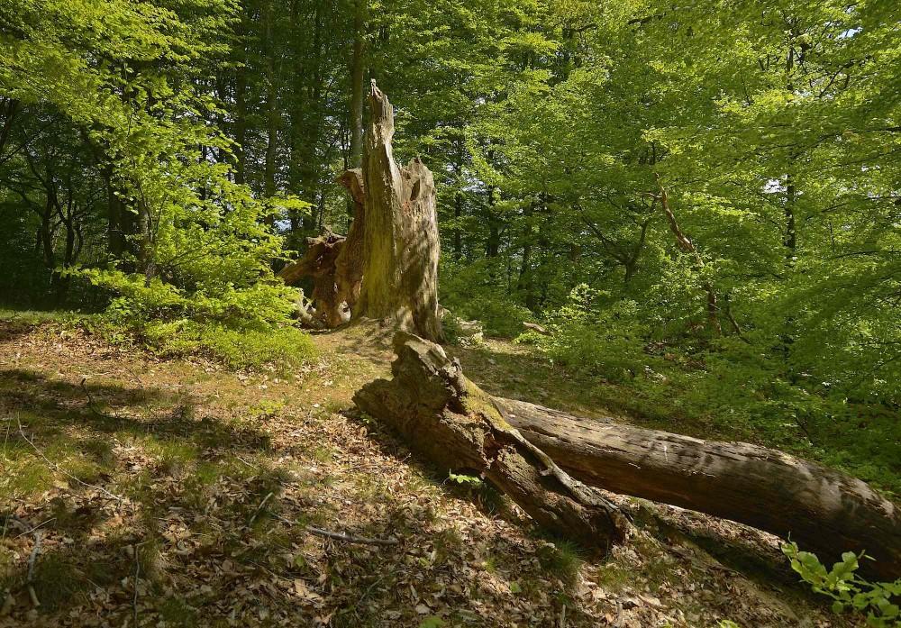 Træskulptur – eller træruin, om man vil – i Troldeslugten, maj (foto: Rune Engelbreth Larsen)