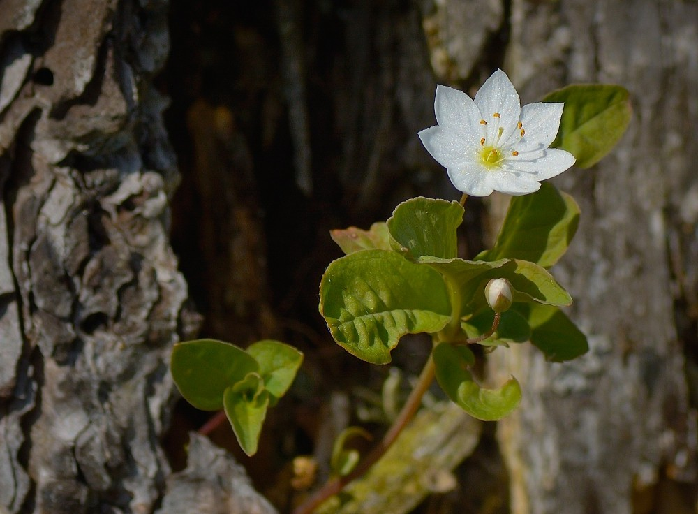 Skovstjerne (foto: Rune Engelbreth Larsen)