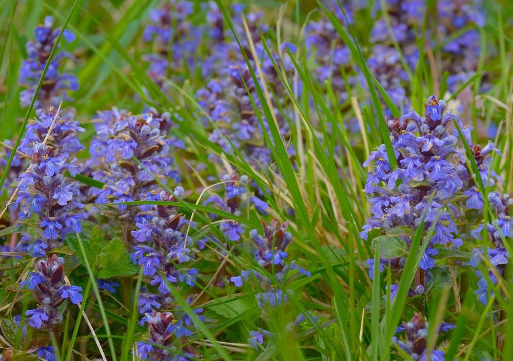 Krybende læbeløs vokser talrigt i sommerfuglelysningen i Store Bøgeskov