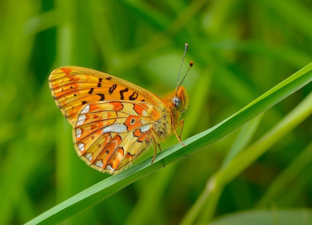Rødlig perlemorsommerfugl – en af Danmarks sjældneste sommerfugle, hvis bestande er raslet ned de seneste få årtier (foto: Rune Engelbreth Larsen)