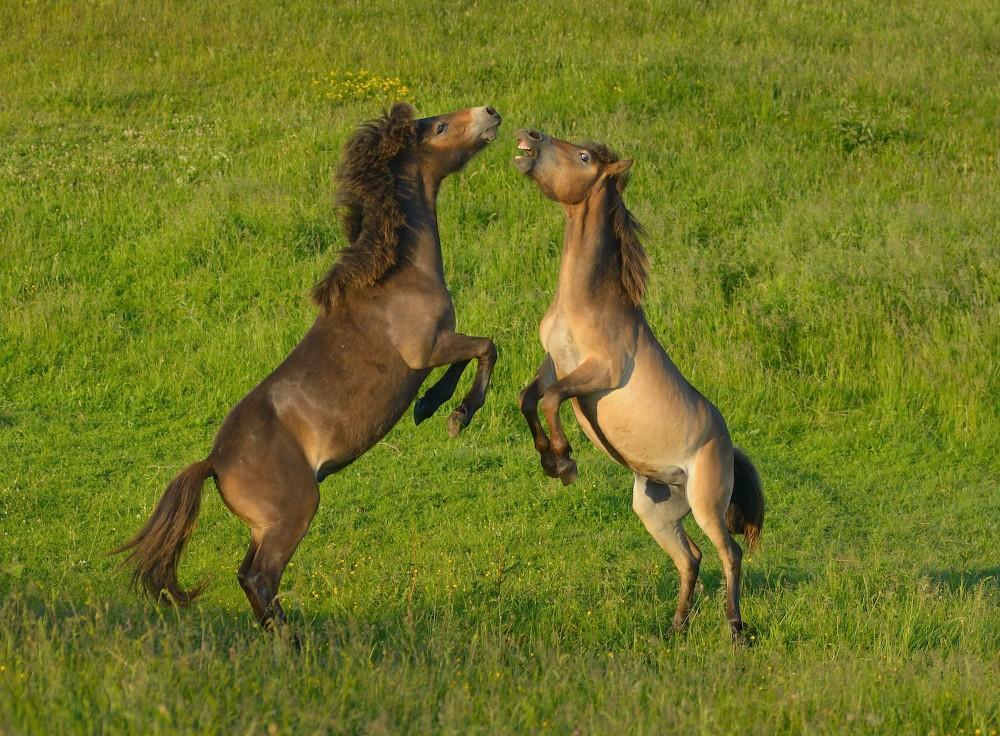 15-20 minutter varede en uafgjort kamp mellem disse hopper – en naturlig adfærd, man kan opleve blandt vildhestene på Sydlangeland (foto: Rune Engelbreth Larsen)