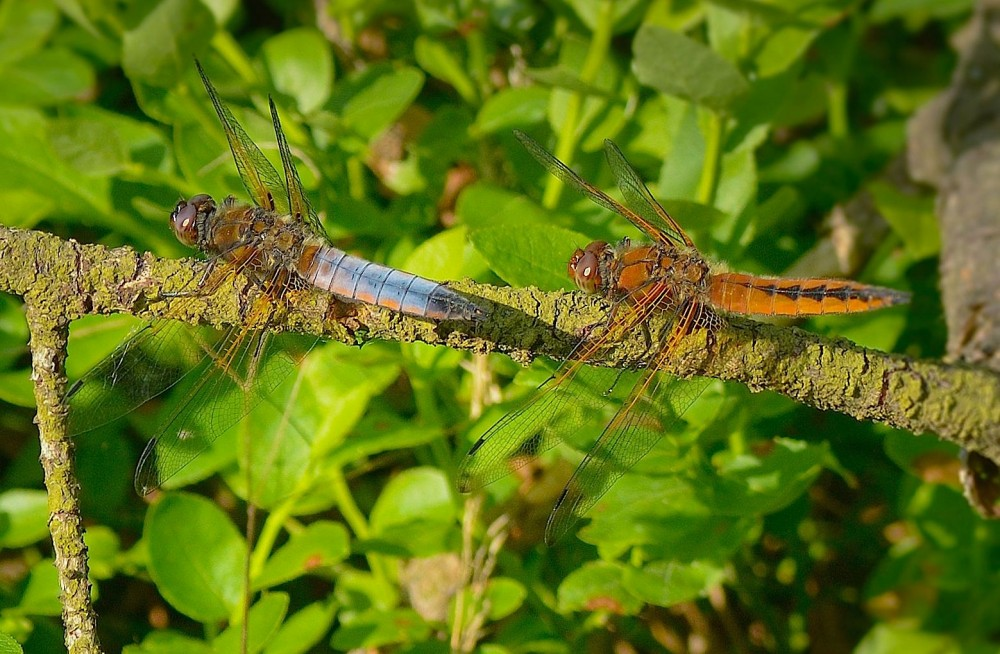 Spidsplettet libel – to hanner, en yngre blå og en lidt ældre orange (foto: Rune Engelbreth Larsen)