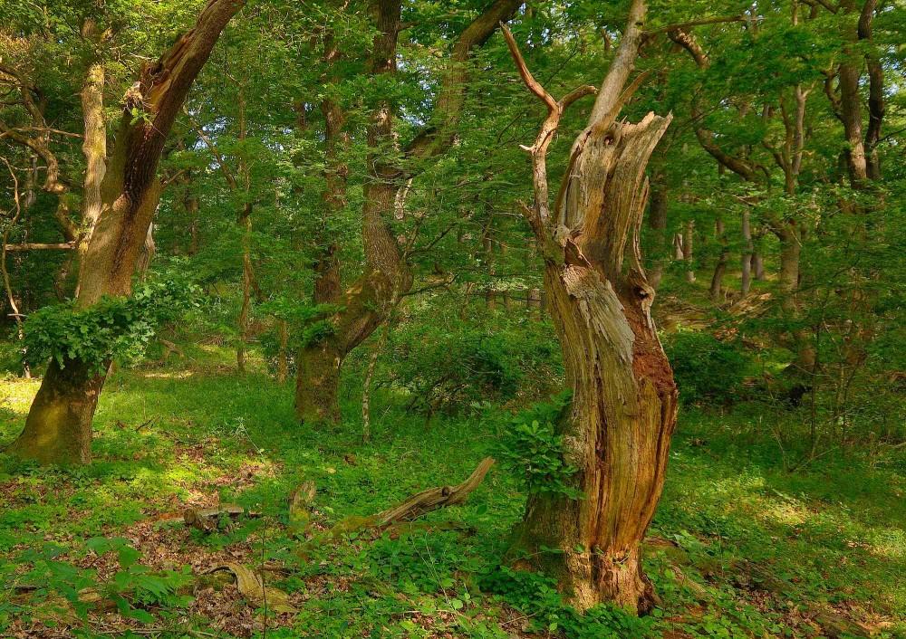 Vildskov eller såkaldt urørt skov er rig på skovens egne træ-skulpturer (foto: Rune Engelbreth Larsen)