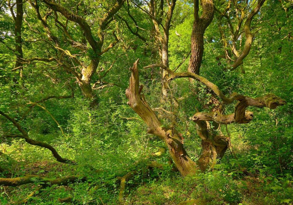 Hald Egeskov – urørt skov med gamle egetræer (foto: Rune Engelbreth Larsen)