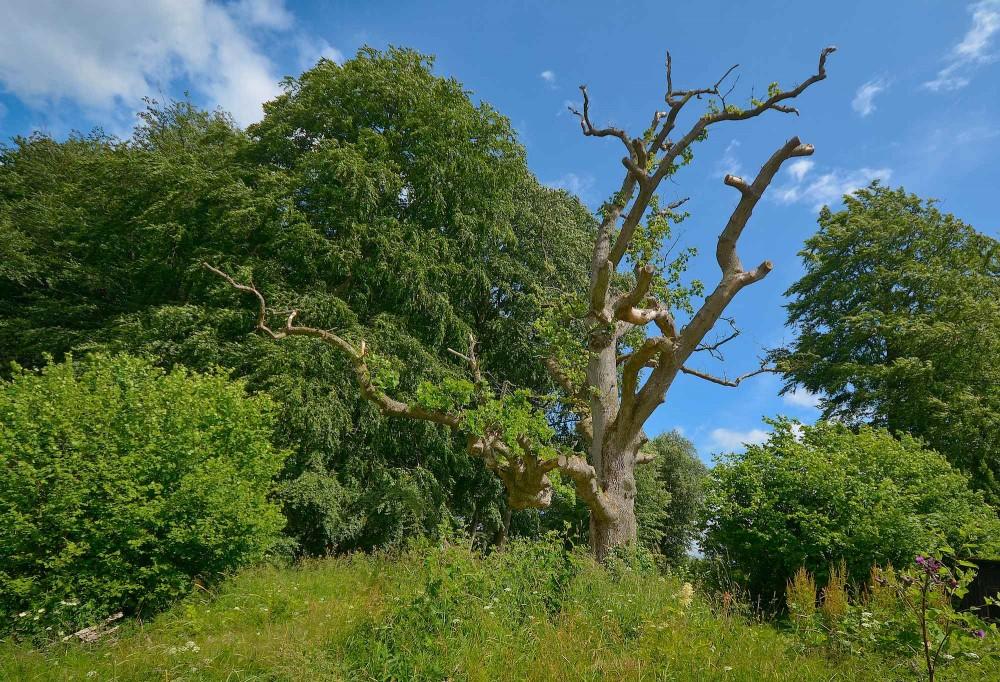Egetræ, Ravnsholte Skov – en del af Bidstrup Skovene (foto: Rune Engelbreth Larsen)