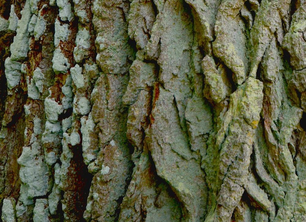 Barken på det gamle egetræ er et kuperet mikrolandskab af bjerge og kløfter og rummer derfor masser af gemmesteder og levesteder for insekter og andre organismer (foto: Rune Engelbreth Larsen)
