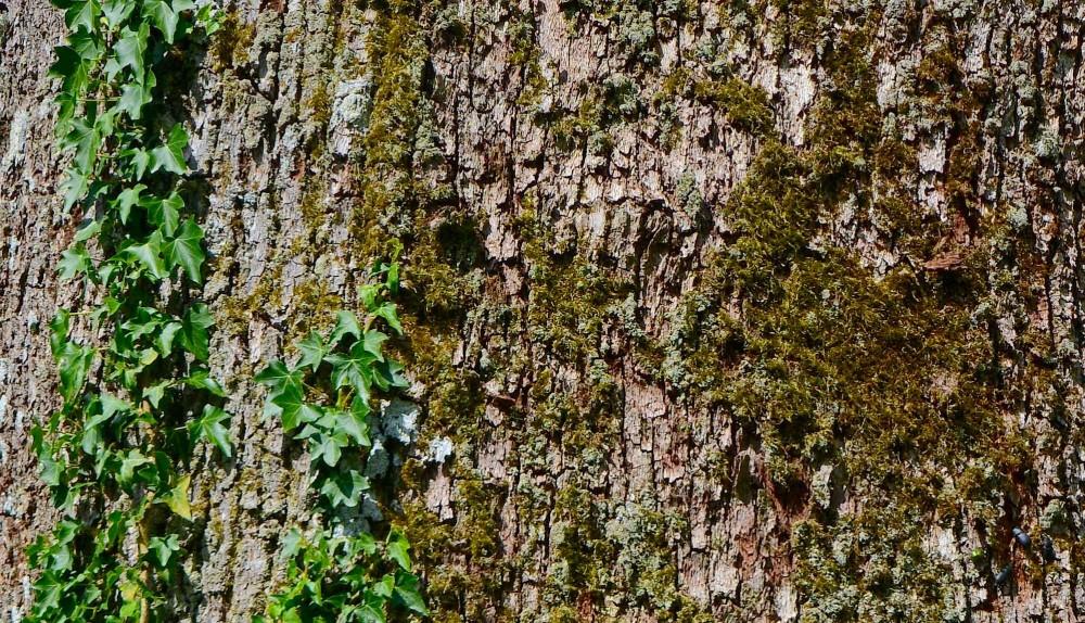 Der er tilknyttet over 1.000 forskellige arter til egetræet – og jo flere, desto ældre det får lov til at blive. Derfor: Fæld ikke disse skovmajestæter, der er så afgørende for biodiversiteten, men lad dem ældes og falde af sig selv, når de efter flere århundreder er mætte af dage (foto: Rune Engelbreth Larsen)