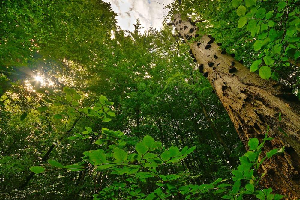Stående dødt ved, Avnstrup Skoven – en del af Bidstrup Skovene (foto: Rune Engelbreth Larsen)