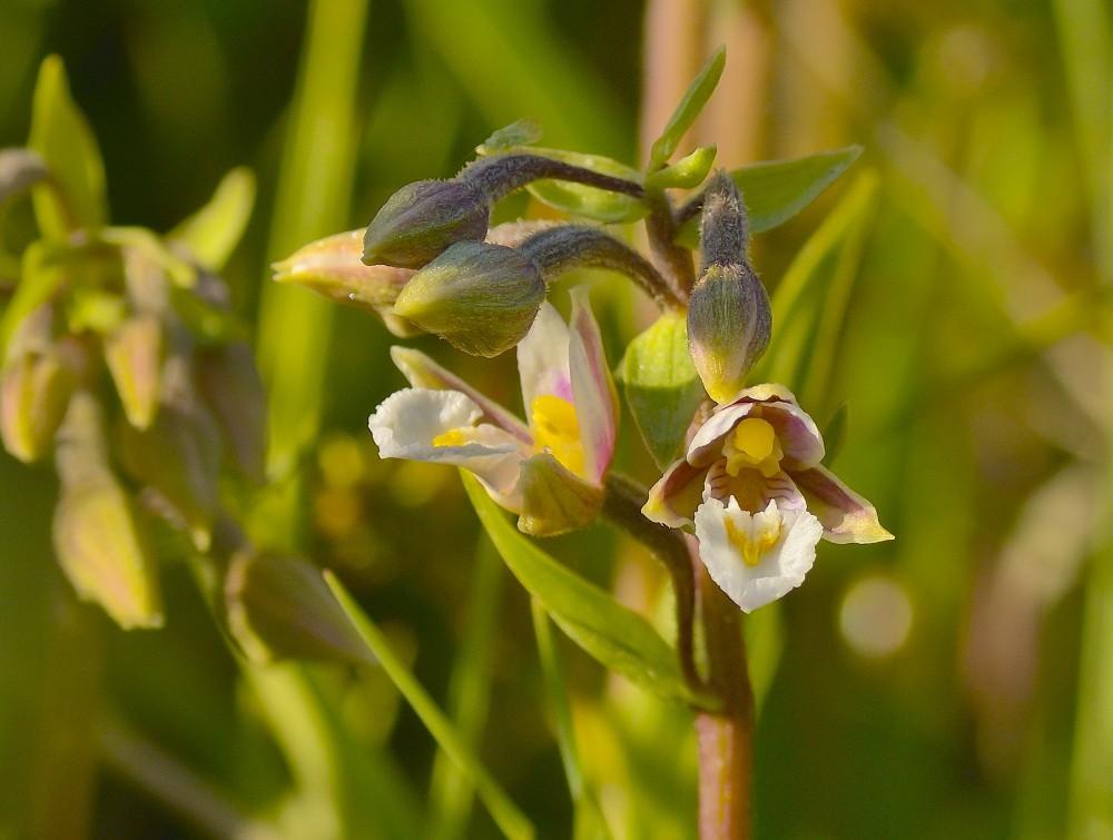 Sump-hullæbe, orkidé (foto: Rune Engelbreth Larsen)