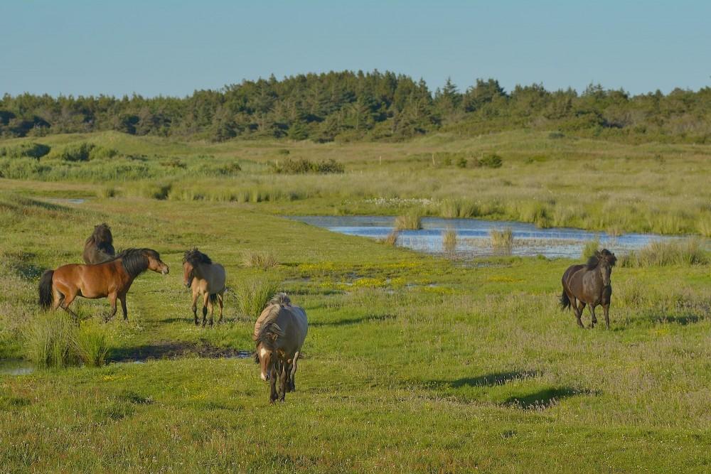 Heste græsser ved Østerklit i Tversted Klitplantage. Dog ikke vildheste – men det kunne det jo blive (foto: Rune Engelbreth Larsen)