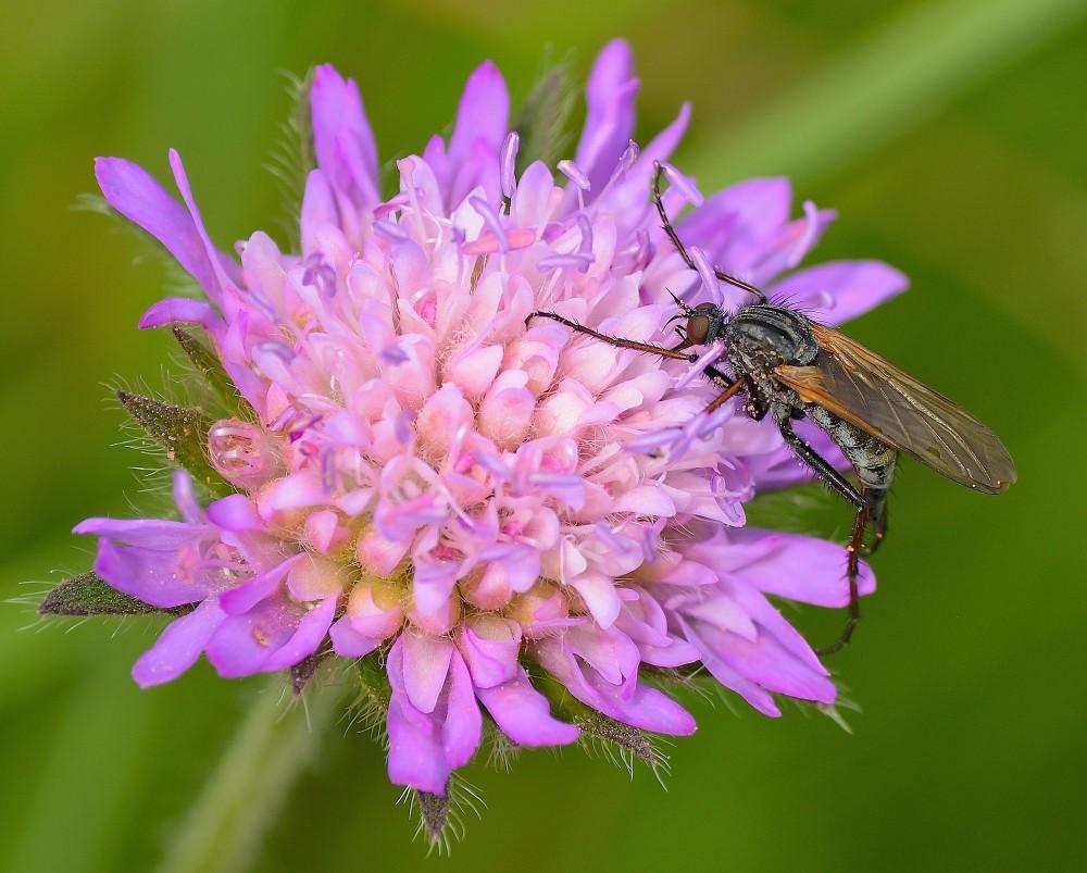 Stor danseflue (hun) besøger blåhat – en af de mest populære insekt-stationer