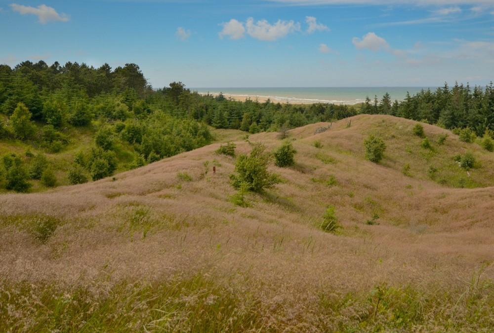 Uggerby Klitplantage ved Tannis Bugt (foto: Rune Engelbreth Larsen)