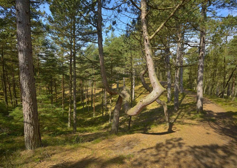 Tversted Klitplantage, juni (foto: Rune Engelbreth Larsen)
