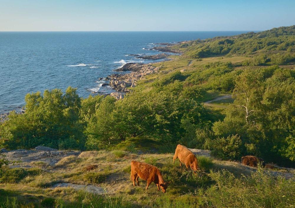 Græsning i dansk klippelandskab (foto: Rune Engelbreth Larsen)