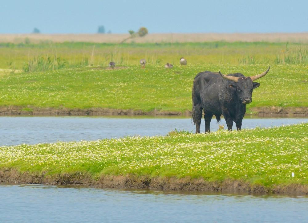 Heckkvæg – tyr i ensom majestæt (foto: Rune Engelbreth Larsen)