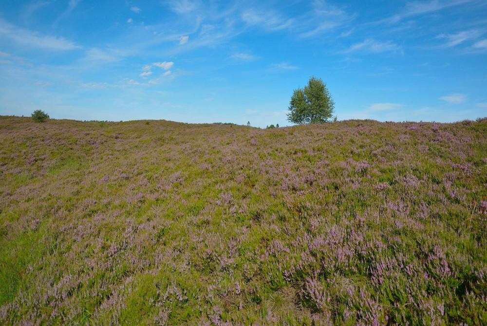 Finkehede, Frøslev Plantage (foto: Rune Engelbreth Larsen)