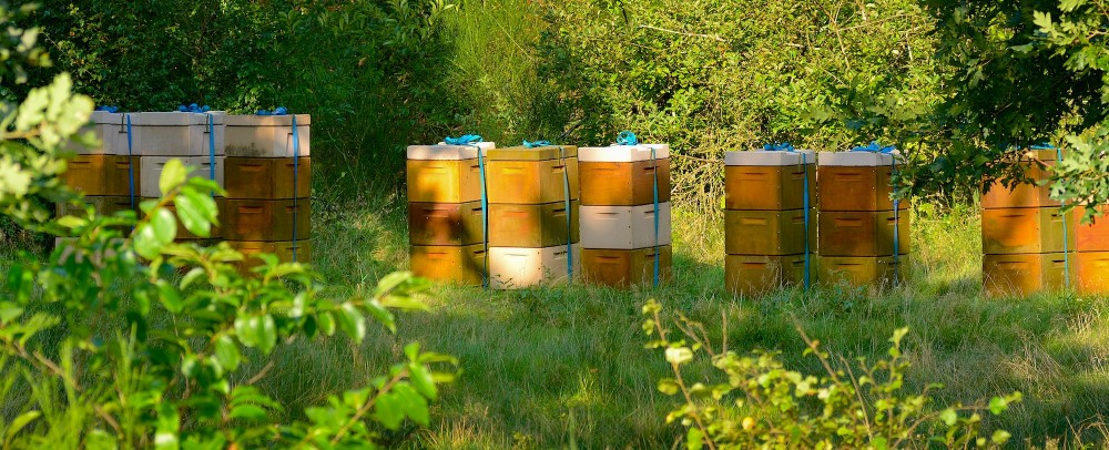 Hører bistader på lange rader hjemme i beskyttede naturområder? Der er risiko for, at honningbierne, der rykker ind i meget store antal, fortrænger de meget færre og ofte truede vilde biarter (foto: Rune Engelbreth Larsen)