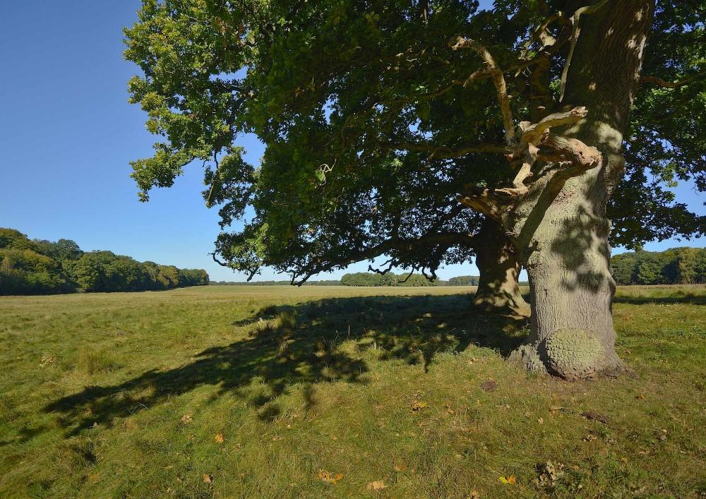 Et par gamle ege troner ved den sydlige del af Eremitagesletten i Jægersborg Dyrehave (foto: Rune Engelbreth Larsen)