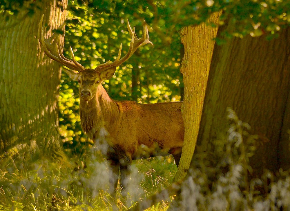 Skovens konge holder vagtsomt øje med fotografen (foto: Rune Engelbreth Larsen)