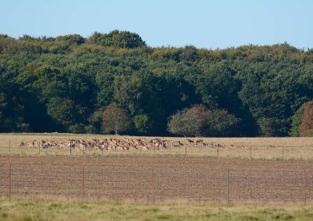 Midt i Jægersborg Dyrehave kan man møde et sælsomt syn som dette ... Altimens hjortene står og græsser i en stor flok, afbrydes udsynet af en intensivt dyrket MARK ... (foto: Rune Engelbreth Larsen)